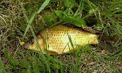 Największa ryba złapana w te wakacje... Z rybami idzie cienko, może z kablami pójdzie lepiej ;)-1